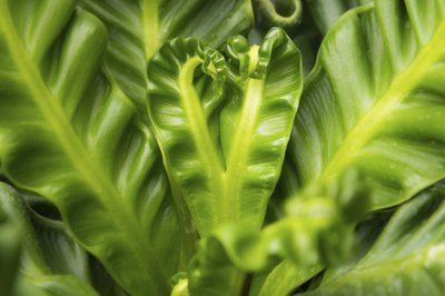 A close-up of a bird's nest fern.