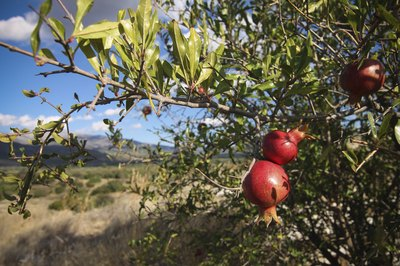 A pomegranate tree bearing red fruit in an arid mountain valley.