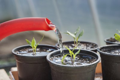 Keep seedlings watered and well-nourished.