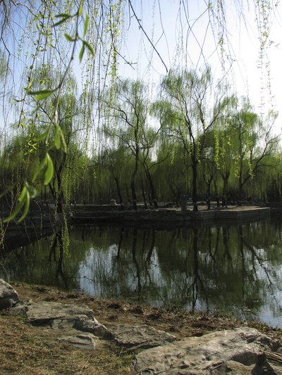 Light and airy branches of corskscrew willow trees on the water's edge in a park.