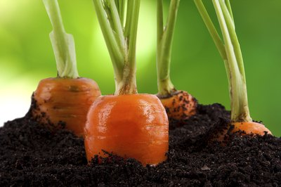 Close-up of carrots in dirt