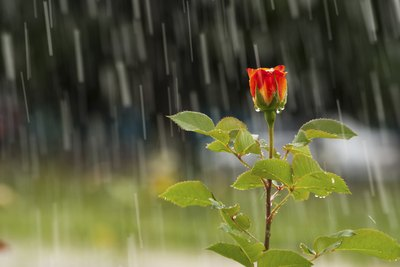 Nothing beats rain for gardens, but chlorinated tap water won't hurt.