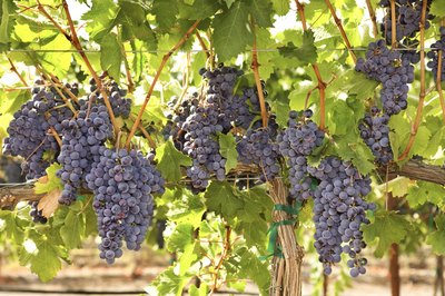 Grapes growing on a vine.