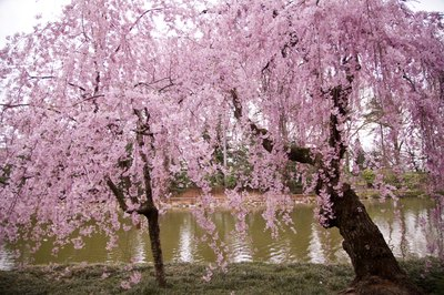 Higan cherry tree in spring.