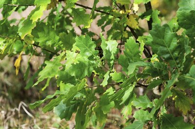 Oak leaves close up.