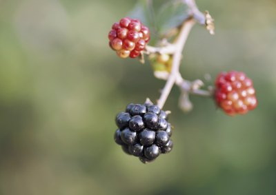 A close-up of wild blackberries.