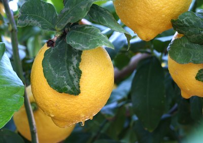 watered lemon tree