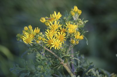 The yellow flowers of a prairie ragwort plant.