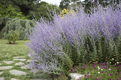 Russian sage flowers
