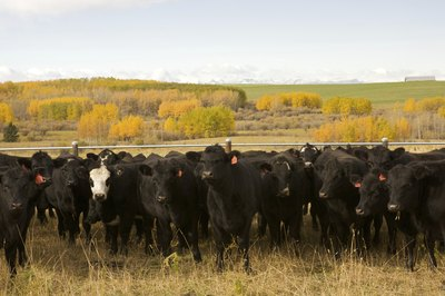 Herd of Black Angus cattle