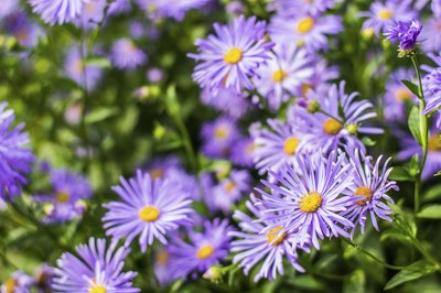 The purple blooms of a silky aster plant.
