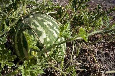Check the vine around your watermelon.
