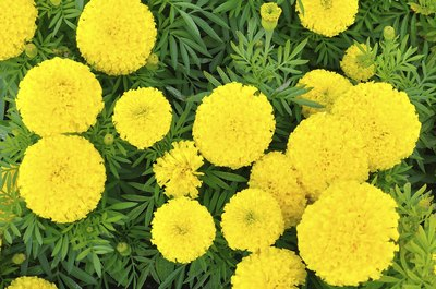 Marigolds growing in a garden.