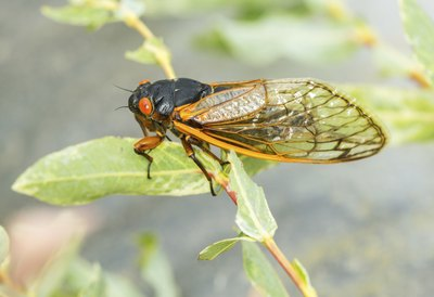 Close-up of a cicada perched on a leaf