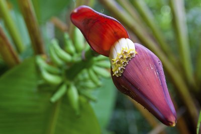 Close up of red banana flower flourishing.
