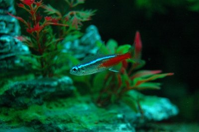 Neon tetras are among the hardiest tetras.
