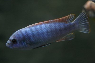 Cichlids from the Rift Valley, particularly Lake Malawi are most vulnerable to this disease.