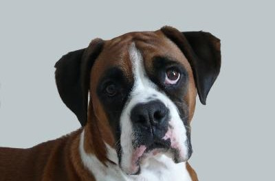 It's hard to resist when a Boxer says please.