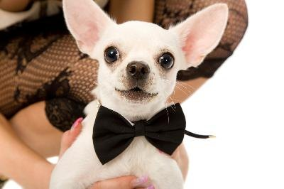 A bow tie can dress up any dog for a night on the town.