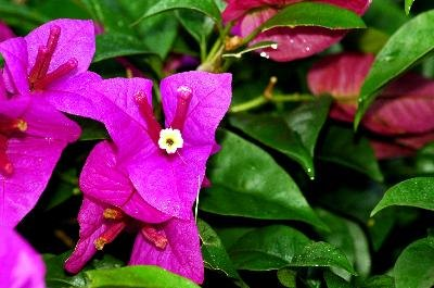 Bougainvillea has brightly colored flowers in spring and winter.
