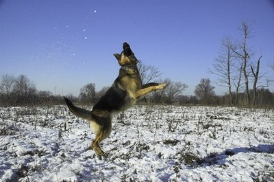 German shepherd dogs are members of the herding group.