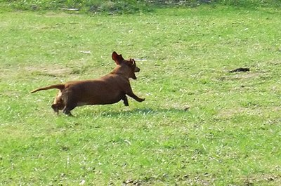 Regular exercise can burn off your dachsie's excess energy.