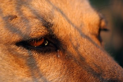 Clean your dog's eye discharge with a few simple techniques.