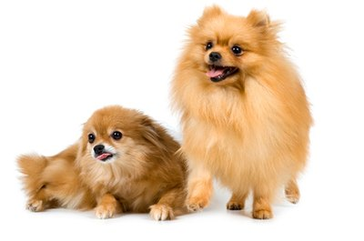 Pomeranians have a fine undercoat that easily becomes matted without regular grooming.