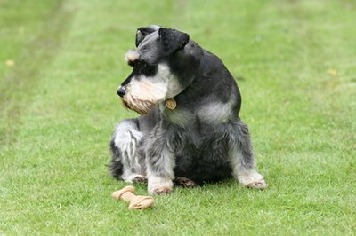 Your miniature schnauzer loves the challenges of training and learning tricks.