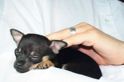Bottle-feeding newborn Chihuahua puppies is necessary if mom won't feed them.