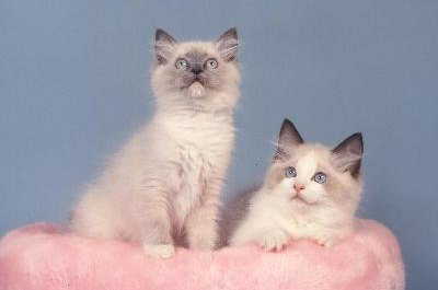 "Ragdolls have light body color and darker ""points"" and always have blue eyes."