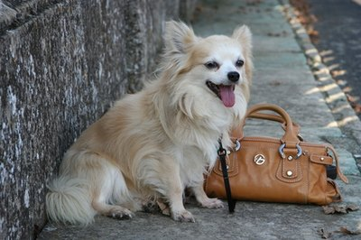 The long-haired Chihuahua requires only moderate grooming.