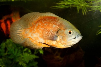The oscar is a large, aggressive cichlid, but other members of the family stay small and peaceful.