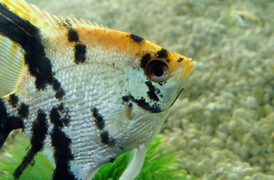 The graceful angelfish are considered one of the most docile cichlids.
