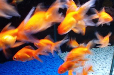 Make sure your new goldfish is disease-free.