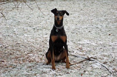 """""""Stay"""" is an essential command to teach a dobe."""