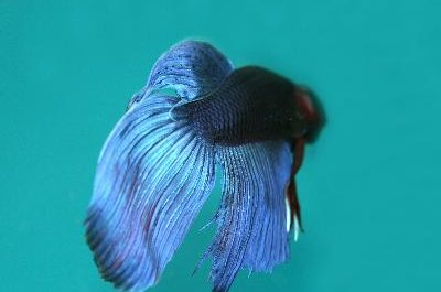 Large colorful tails and fins are characteristic of the betta.