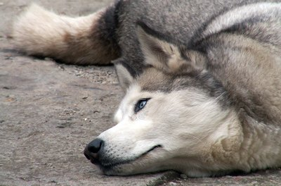 Siberian huskies are perhaps the most calorically efficient canines.