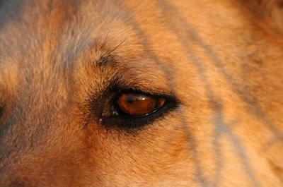 Rinsing your dog's eyes can help reduce the risk of eye infections.
