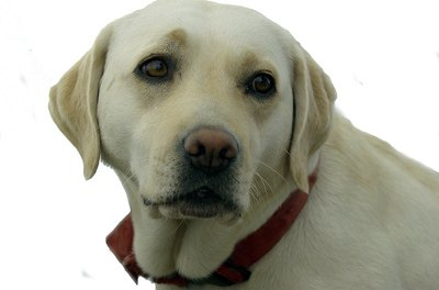 The Labrador is considered one of the most capable breeds to alert diabetics when insulin levels drop.