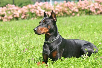 On a blue Doberman the black coat is diluted to a charcoal gray color.