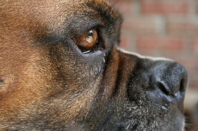 The boxer's calm demeanor makes it a popuar companion dog.