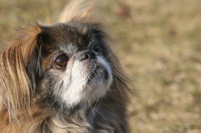 "The Peke is the ""eek"" in Cheek."