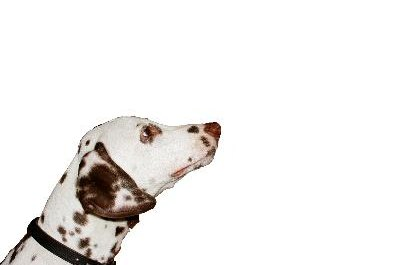A deaf dalmatian can lead a normal, happy life.