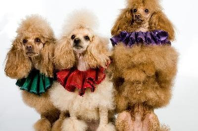 A poodle's fur is similar to a human's hair.
