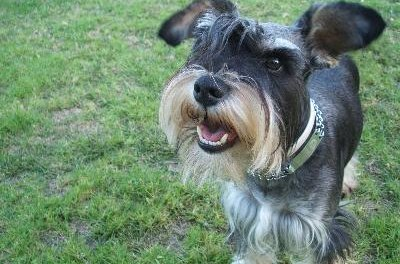 A gentle wind or fan helps dry your schnauzer's ears after a bath.