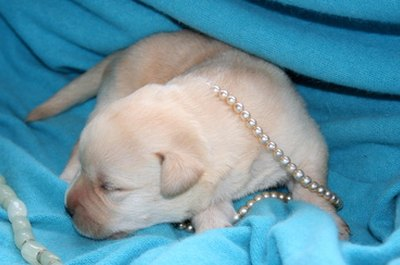 Your Labrador puppy will feel safer in a crate or cage.