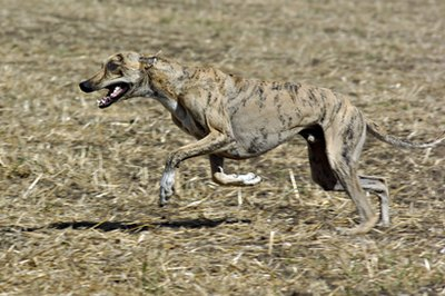 Greyhounds are easy to groom thanks to their short coats.