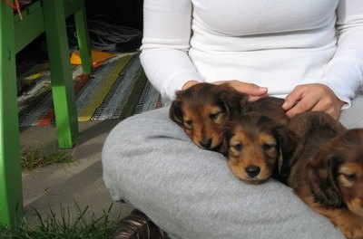 Miniature dachshunds are more susceptible to hypoglycemia.