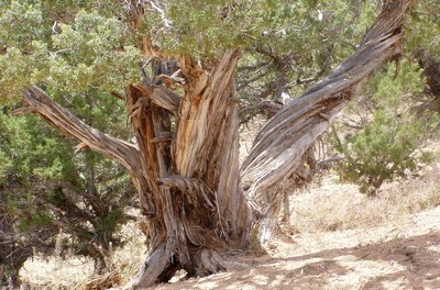 Oils obtained from the wood of cedar trees can repel fleas from pets.